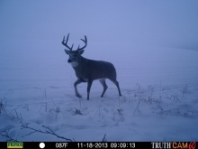 Alberta Whitetail Deer
