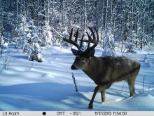 Alberta Whitetail Deer Trail Camera Pictures 2013
