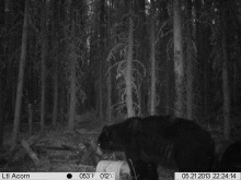 Alberta Black Bear Trail Camera Pictures 2013