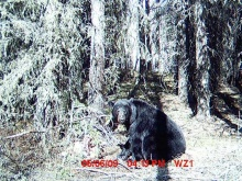Alberta Black Bear Trail Camera Pictures 2009