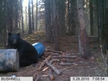 Alberta Black Bear