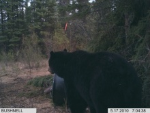 Alberta Black Bear Trail Camera Pictures 2010