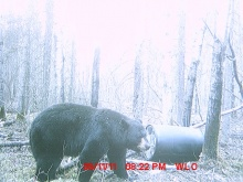 Alberta Black Bear Trail Camera Pictures 2011