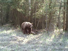 Alberta Black Bear Trail Camera Pictures 2012