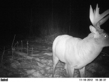 Alberta Whitetail Deer Trail Camera Pictures 2012